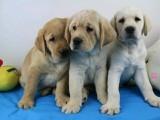 重庆出售 拉布拉多幼犬狗狗出售 包纯种 包健康