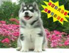 哪里有出售纯种哈士奇雪橇犬 带健康证书 血统证书 多少钱