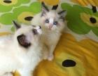 布偶猫 自家繁殖高品质布偶包纯种健康