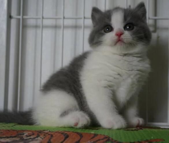 英短 美短 2到3个月猫咪出售 包纯种健康