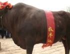 黑白花小母牛价格,山西黑白花小母牛价格,品种介绍