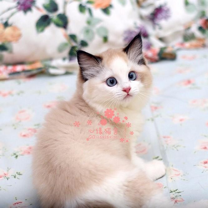 布偶猫多少钱一只 韶关哪里有卖布偶猫 布偶猫图片
