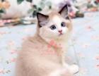 深圳哪里有卖布偶猫 深圳纯种布偶猫一只多少钱