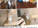 猫舍品种调整种猫出售