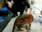 自家双证纯种孟加拉豹猫幼仔预订