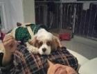12个月大的纯种美国可卡狗狗个人转让