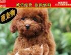 纯种健康专业狗场繁殖签协议-上门可便宜一泰迪熊犬