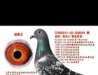 五一拍賣武清大寶華翔鴿業的公棚歸巢鴿