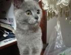 英国短毛蓝猫