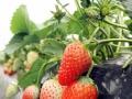 踏青季节采摘新鲜奶油草莓烧烤农家乐钓鱼活动