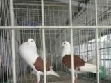 元宝鸽多少钱元宝鸽养殖元宝鸽种类