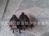 【少华禽苗】黑毛黑肉鸡苗 鸡苗 禽苗