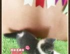 超美超可爱的英短猫蓝白双色小帅哥2号《思晴名猫坊》