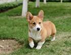 北京直銷精品幼犬、品質保證,血統純正,歡迎上門挑選狗狗