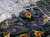 玩赏鸟价格1000八哥鹩哥雏鸟