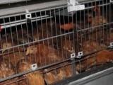 出售60天海兰褐青年鸡(鹤壁金山)