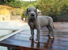 蓝系大丹犬幼犬出售