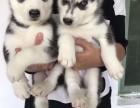出售两个月左右的三火二哈哈士奇幼犬