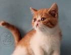 精品大圆脸加菲猫在售 CFA猫舍专业繁殖上门签协