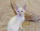 出售小暹罗猫,健康亲人,好动活泼的