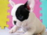 北京犬舍出售藍色法國斗牛犬幼犬活體純種藍牛賽級包健康包純種
