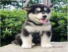 阿拉斯加犬 保纯种 三针疫苗齐全 健康血统有保障