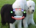 纯种犬繁殖基地 出售 古牧幼犬 纯种健康质保