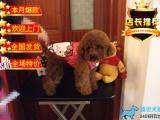 纯种可爱泰迪熊包健康包纯种出售 可签协议