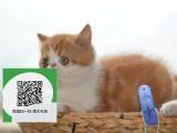 昆明在哪里卖健康纯种宠物猫 昆明哪里出售加菲猫