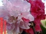观赏桃花树苗红花碧桃树