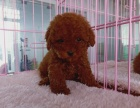 北京出售 泰迪幼犬 纯种健康保障 疫苗驱虫已做 签协议包售后