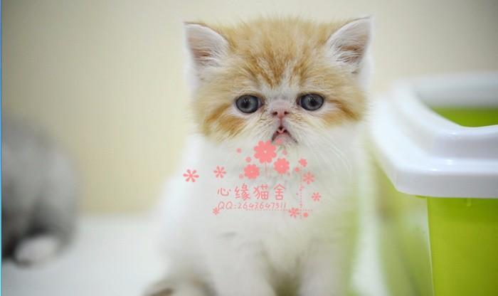 乌鲁木齐哪里的加菲猫较便宜多少钱乌鲁木齐哪里有几百块钱加菲猫