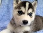 重庆出售纯种哈士奇幼犬 公母齐全 包健康 包纯种 签协议