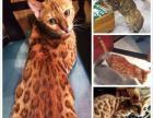 家宠孟加豹猫DD出售
