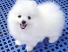 出售纯种博美犬 博美幼犬 小体博美 品质好 质量保证