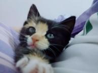 出售一只小幼猫,活泼可爱