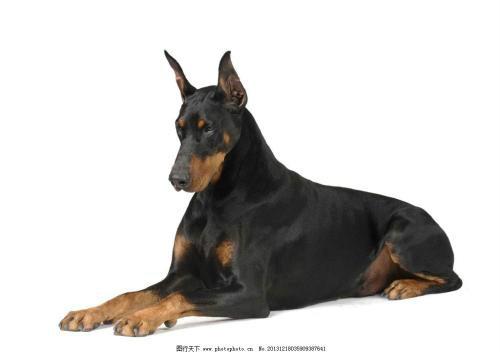双血统杜宾 黑色 棕色 自家养殖 以剪耳 有现货 可自提