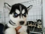 全国宠物出售批发,销售,宠物狗狗出售连锁加盟