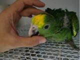 出售亚马逊鹦鹉 金刚鹦鹉 灰鹦鹉 大绯胸鹦鹉 折衷鹦鹉