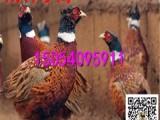 七彩山鸡多少钱 七彩山鸡价格 七彩山鸡图片