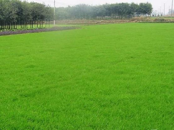草坪价格多少钱一平米