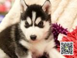 专业繁殖出售帅气纯种哈士奇西伯利亚雪橇犬