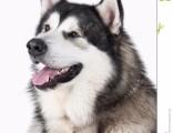 武汉实体犬舍专业繁殖纯种、保健康签协议可配种