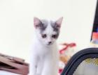 Cat公馆,3个月乳白英短出售,疫苗齐全