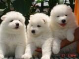 武汉澳版熊版微笑天使萨摩耶幼犬 大骨量毛量 乖巧健康