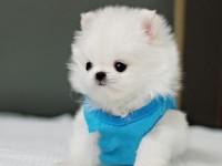 南京纯种博美犬幼犬出售球形茶杯体博美长不大活体宠物狗俊介幼犬