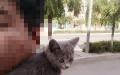 英短蓝猫 两个半月