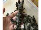 鳄鱼苗出售鳄鱼苗的价格孔雀苗鸵鸟苗多少钱