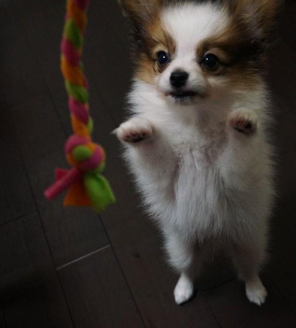 长期繁殖蝴蝶犬俊介博美 各类纯种名犬