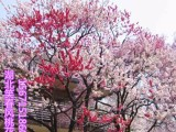 观赏桃花树苗3公分红叶碧桃苗